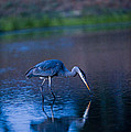 Blue Heron In Pond by Richard Brooks