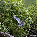 Blue Heron Journey I by Vernis Maxwell