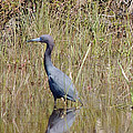 Blue Heron by Kim Pate