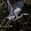 Blue Heron Lift Off by Steve McKinzie
