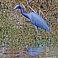 Blue Heron Louisiana by Lizi Beard-Ward