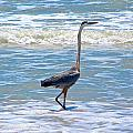 Blue Heron by Michael Anthony