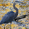 Blue Heron Naturally by Laura Louise