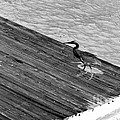 Blue Heron On Dock - Grayscale by Marian Bell