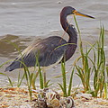 Blue Heron On Oyster Shell Beach by Sheri McLeroy