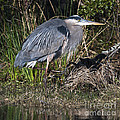 Blue Heron On The Hunt by Dale Powell