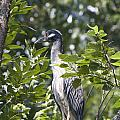 Blue Heron Profile by Vernis Maxwell