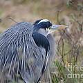 Blue Heron Reflecting by Jan Noblitt