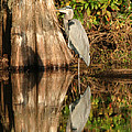Blue Heron Reflection by Jeff Wright