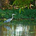 Blue Heron Reflection by Vernis Maxwell