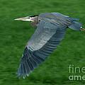 Blue Heron by Rod Wiens