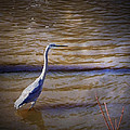 Blue Heron - Shallow Water by Brian Wallace