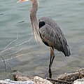 Blue Heron by Wendy Coulson