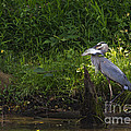 Blue Heron With A Fish-signed by J L Woody Wooden