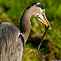 Blue Heron With A Snake In Its Bill by Jeff Goulden