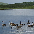 Blue Hills Geese by Robert Nickologianis