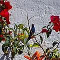 Blue Hummingbird by John  Kolenberg