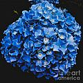 Blue Hydrangea 1 by William Norton