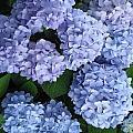 Blue Hydrangea by Caryl J Bohn