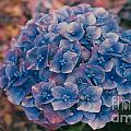 Blue Hydrangea by Heather Kirk