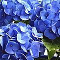 Blue Hydrangea by Lehua Pekelo-Stearns