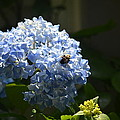 Blue Hydrangea With Bumblebee by Maria Urso