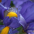 Blue Iris Close Up by Luv Photography