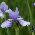 Blue Iris by David Freuthal