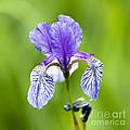 Blue Iris by Frank Tschakert