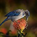 Blue Jay 1 by Xueling Zou