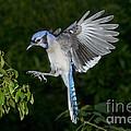 Blue Jay by Anthony Mercieca