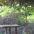 Blue Jay At Lunch by Kimmary MacLean