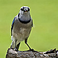 Blue Jay Meal Time by Shelly Gunderson
