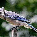 Blue Jay by Ericamaxine Price