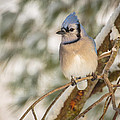 Blue Jay by Everet Regal