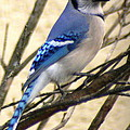 Blue Jay In A Bush by Laurel Talabere