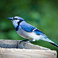 Blue Jay In Backyard Feeder by Jiayin Ma