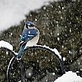 Blue Jay In Snow Storm by MTBobbins Photography