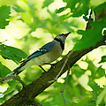 Blue Jay by Lawrence Golla