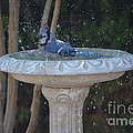 Blue Jay Loves To Splash Water by Ruth  Housley