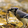 Blue Jay Nest Building by Robert Frederick