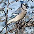 Blue Jay.. by Nina Stavlund