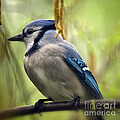 Blue Jay On A Misty Spring Day - Square Format by Lois Bryan