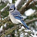 Blue Jay On Hemlock by MTBobbins Photography