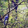 Blue Jay - Paint Effect by Brian Wallace