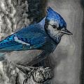Blue Jay Painterly by Ernie Echols