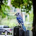 Blue Jay by Sennie Pierson