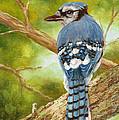 Blue Jay by Tom Chapman