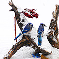 Blue Jays In Winter by Randall Branham