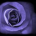 Blue Lavender Violet Roses Triptych by Jennie Marie Schell